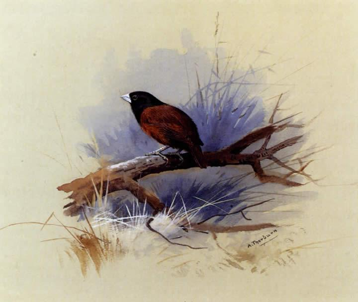 Archibald Thorburn A Nepalese black headed nun in the branch of a tree