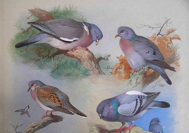 Archibald Thorburn A Wood Pigeon A Stock Dove A Turtle Dove A Rock Pigeon