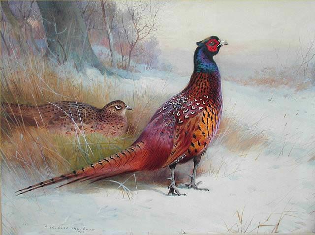 Archibald Thorburn Old English Pheasant Painting Framed