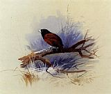 Archibald Thorburn - A Nepalese black headed nun in the branch of a tree