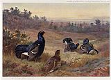 Archibald Thorburn Canvas Paintings - Blackgame at the Lek