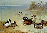 Archibald Thorburn Canvas Paintings - Buffel headed duck American green winged teal and hooded merganser