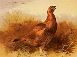 Archibald Thorburn Canvas Paintings - Cock Grouse