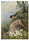Archibald Thorburn Canvas Paintings - Cock and Hen Redstarts
