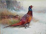 Archibald Thorburn Famous Paintings - Old English Pheasant