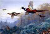 Archibald Thorburn Famous Paintings - Pheasants in Flight