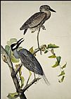 John James Audubon Yellow-Crowned Heron painting