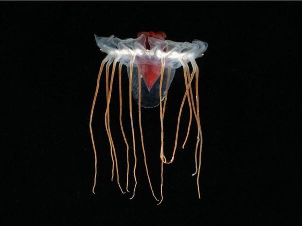 Sea life Jellyfish 1