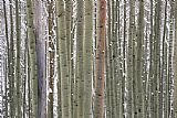 Unknown Artist Aspens in Snow painting